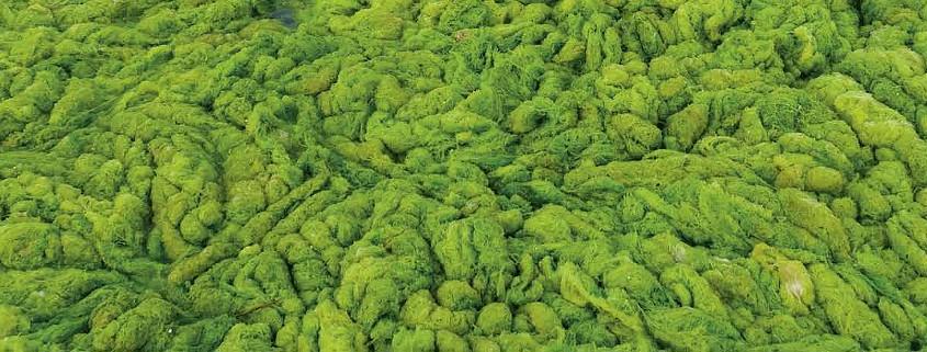 Bio fuels - Algae